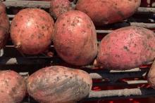 hofladen Kartoffelverkauf   Amberg & Rothe Alperstedt